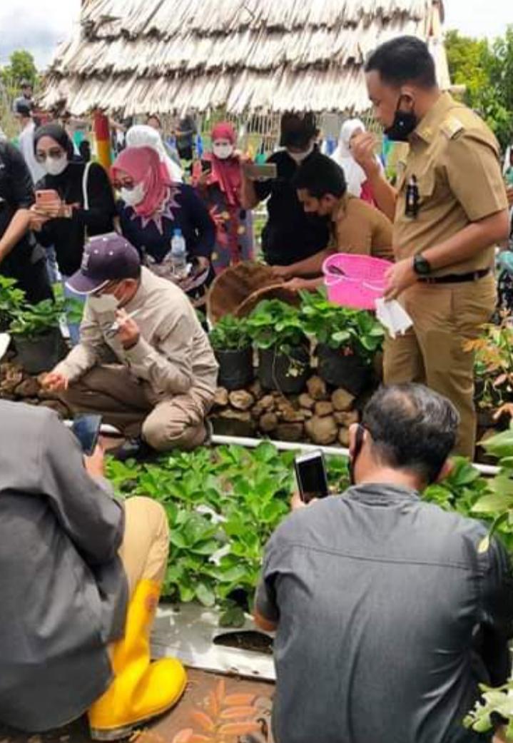Didampingi Bupati Bantaeng, Gubernur Sulsel jongkok memetik buah Strawberry, Selasa (2/2/2021)